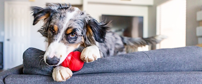 How to Introduce Your Dog to a Kong® Classic